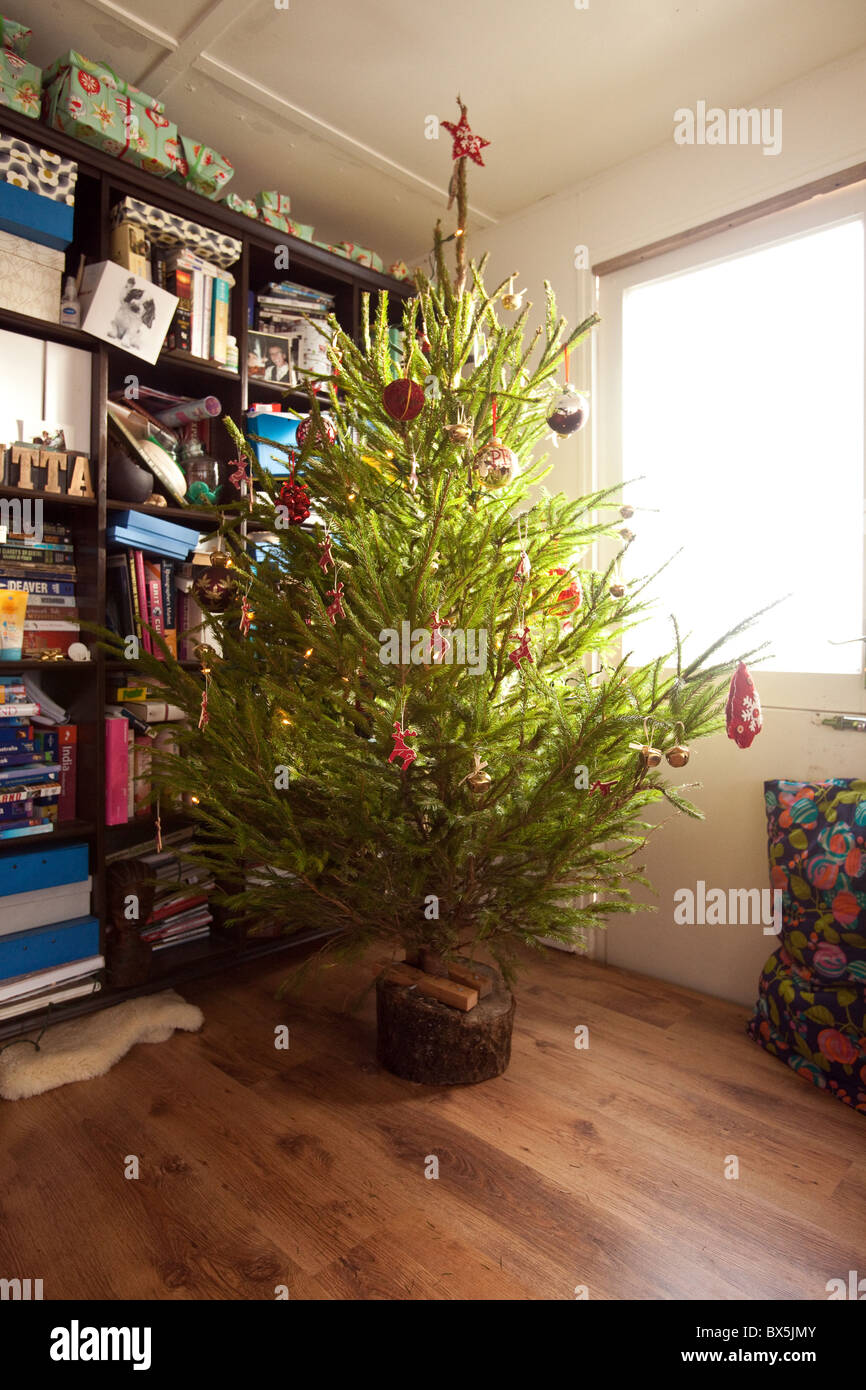 indoor real christmas tree norway spruce hampshire england stock image