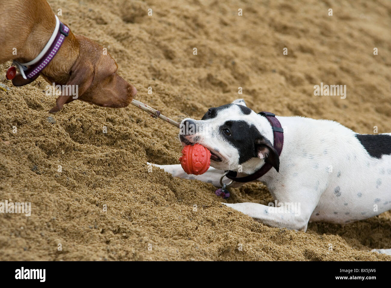 two dogs playing with a toy - Stock Image