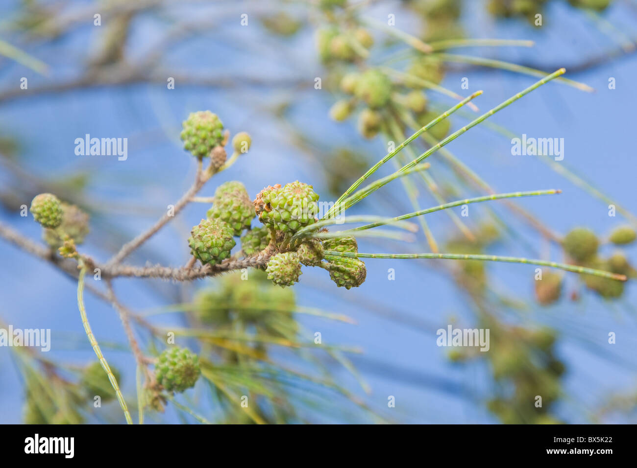 Casuarina Equisetifolia or the Australian pine - Stock Image