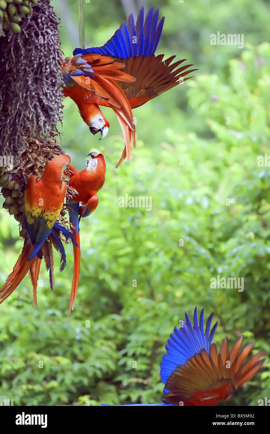 Scarlet Macaws (Ara macao) arguing, Corcovado National Park, Osa Peninsula, Costa Rica, Central America - Stock Image