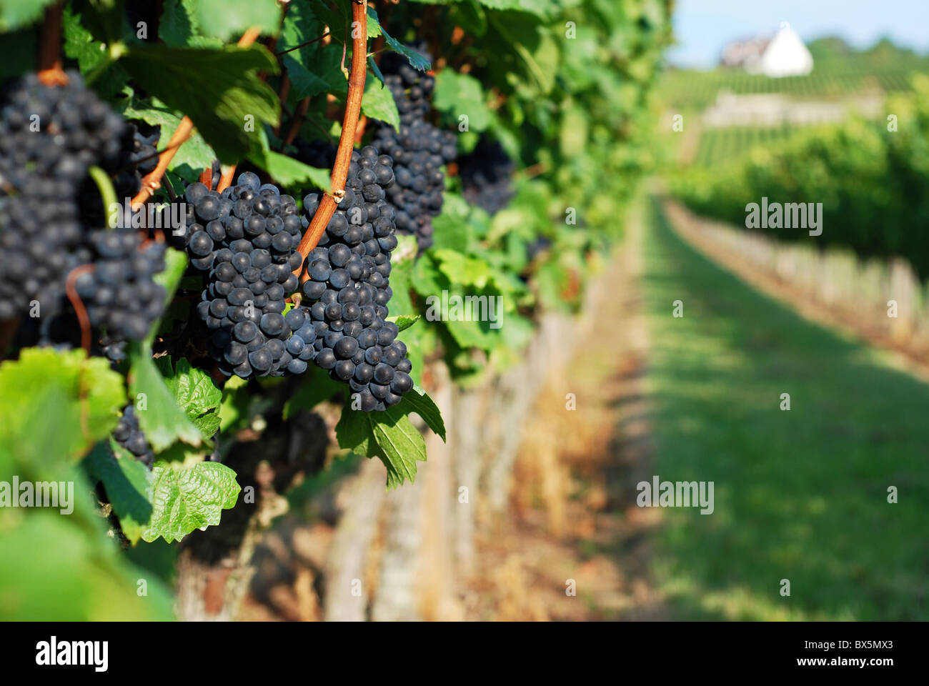 Pinot noir grapes on the vine, Volnay, Burgundy, France - Stock Image
