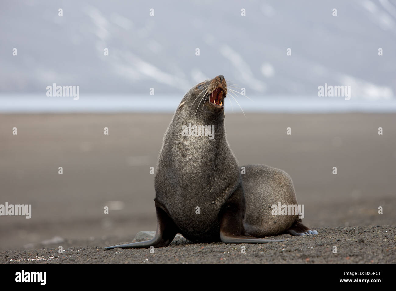 Antarctic fur seal (Arctocephalus gazella), Deception Island, South Shetlands, Antarctic, Polar Regions - Stock Image