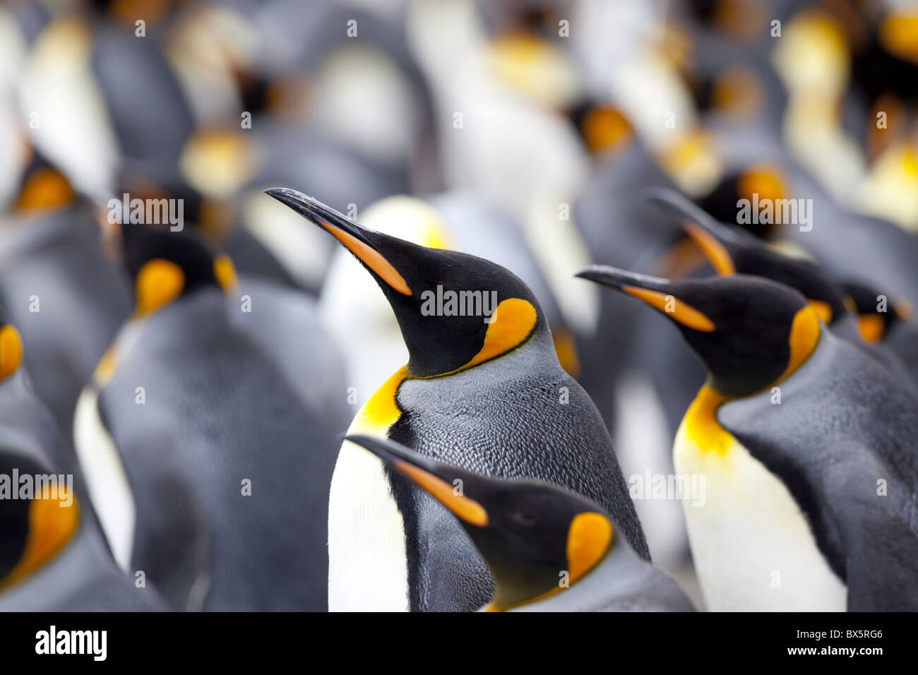 King penguin colony (Aptenodytes patagonicus), Gold Harbour, South Georgia, Antarctic, Polar Regions - Stock Image