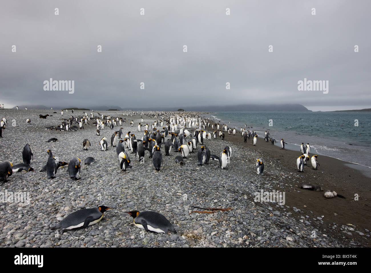King penguin colony (Aptenodytes patagonicus), Salisbury Plain, South Georgia, Antarctic, Polar Regions - Stock Image