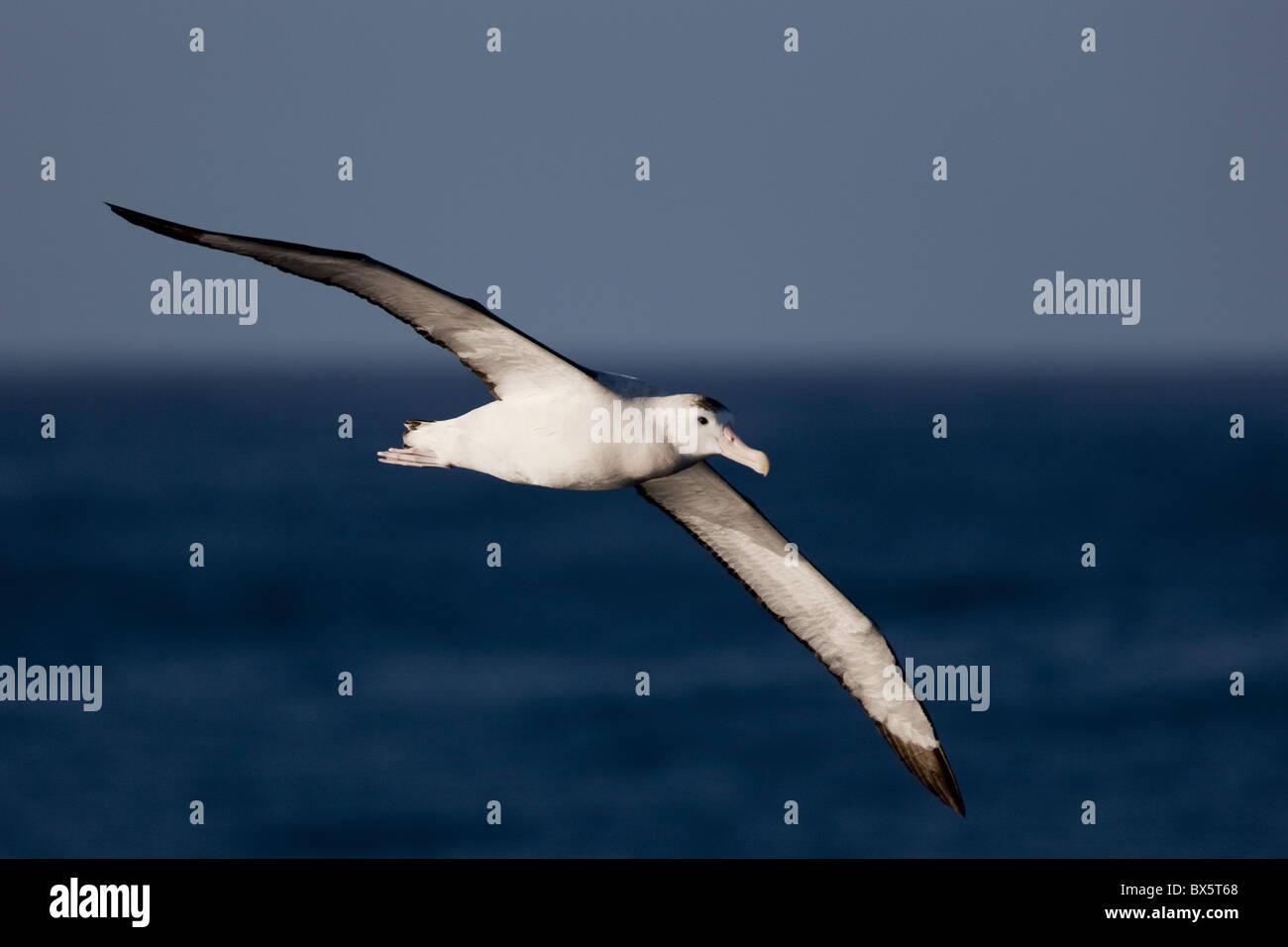 Wandering albatross (Diomedea exulans), Southern Ocean, Antarctic, Polar Regions - Stock Image