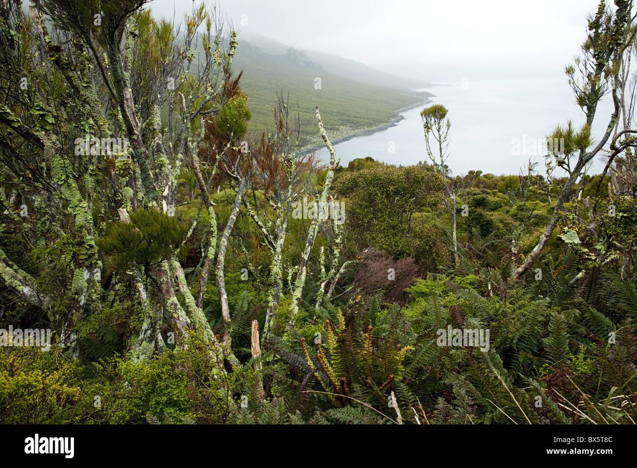 Flora on Campbell Island, Sub-Antarctic, Polar Regions - Stock Image
