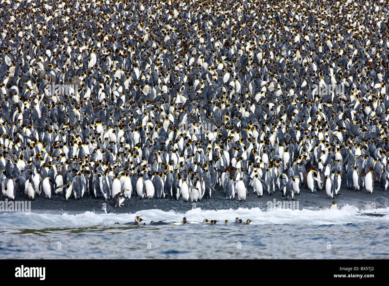King penguin colony (Aptenodytes patagonicus), Macquarie Island, Sub-Antarctic, Polar Regions - Stock Image