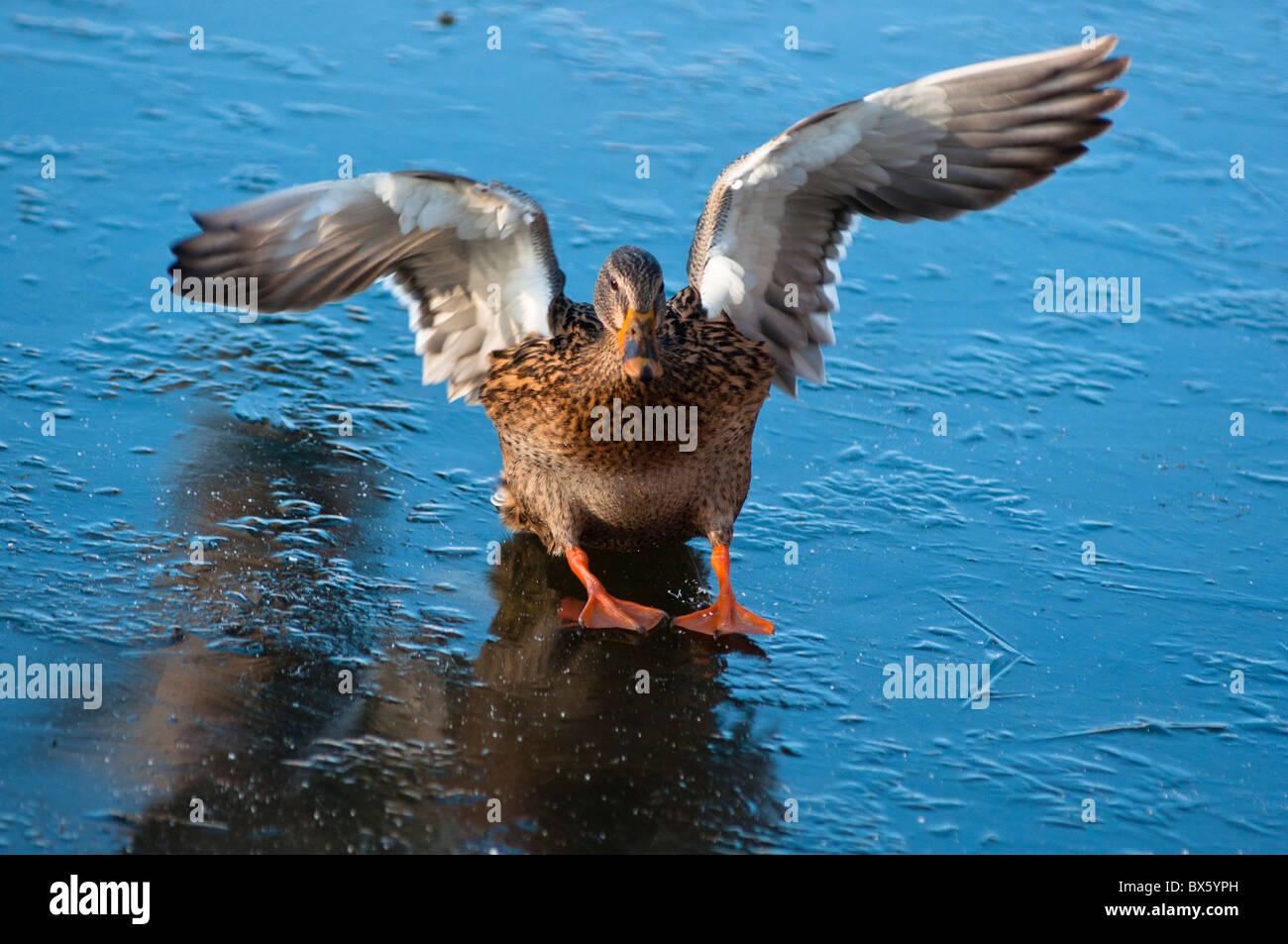 Mallard duck landing on frozen lake. - Stock Image