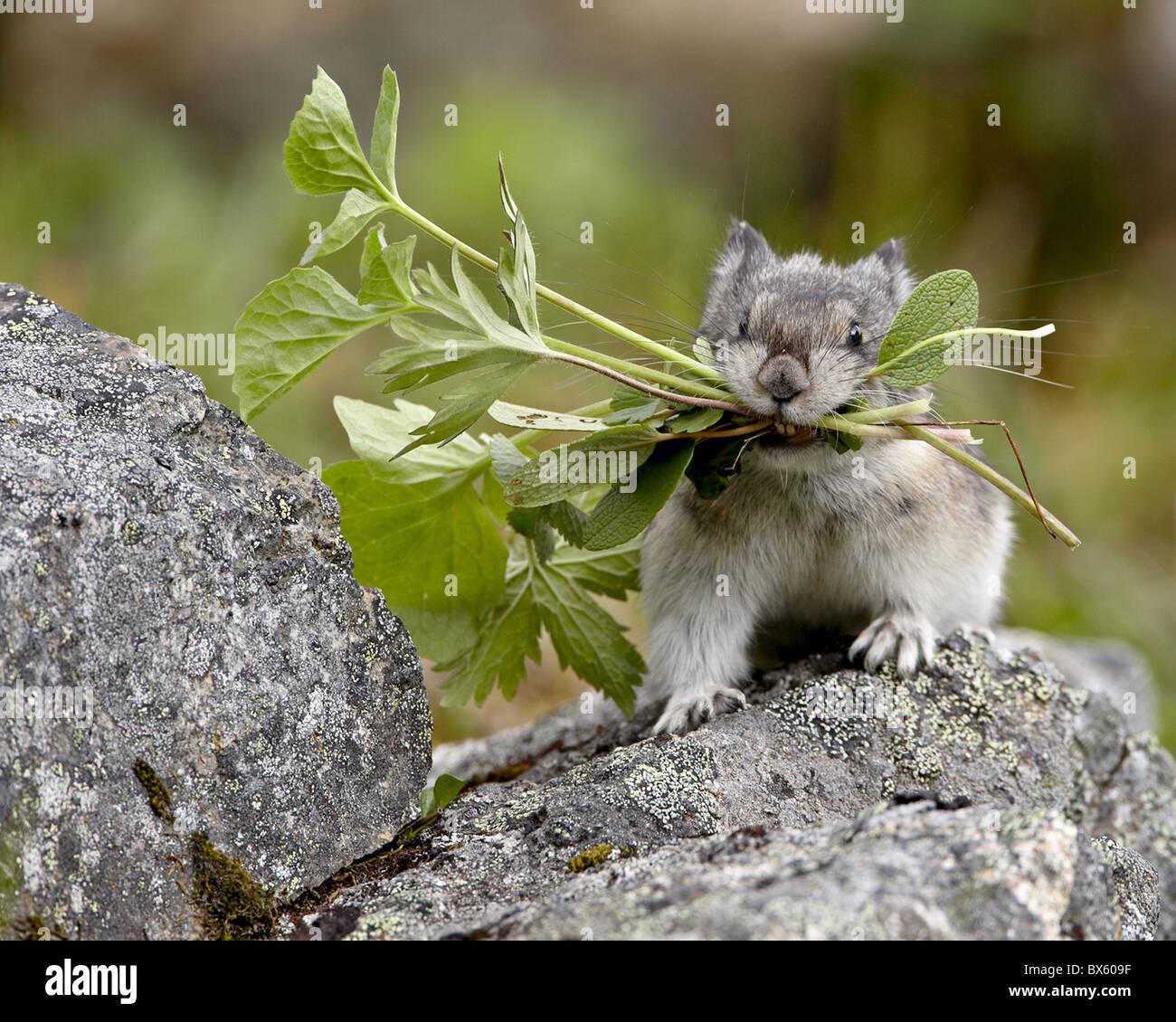 Collared Pika (Ochotona collaris) taking food to a cache, Hatcher Pass, Alaska, United States of America, North - Stock Image