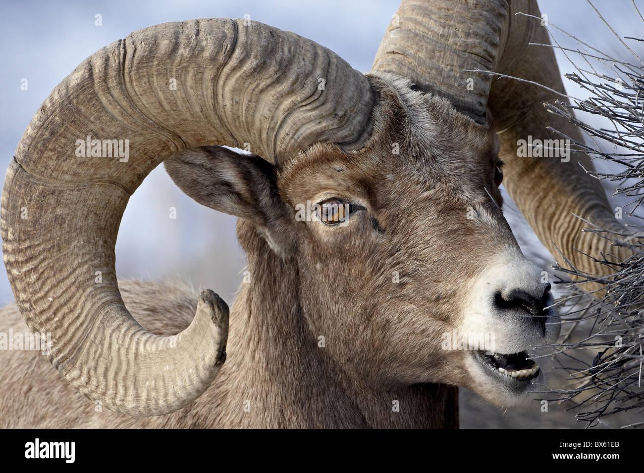 Ö¡ Ram Stock Photos & Ö¡ Ram Stock Images - Alamy