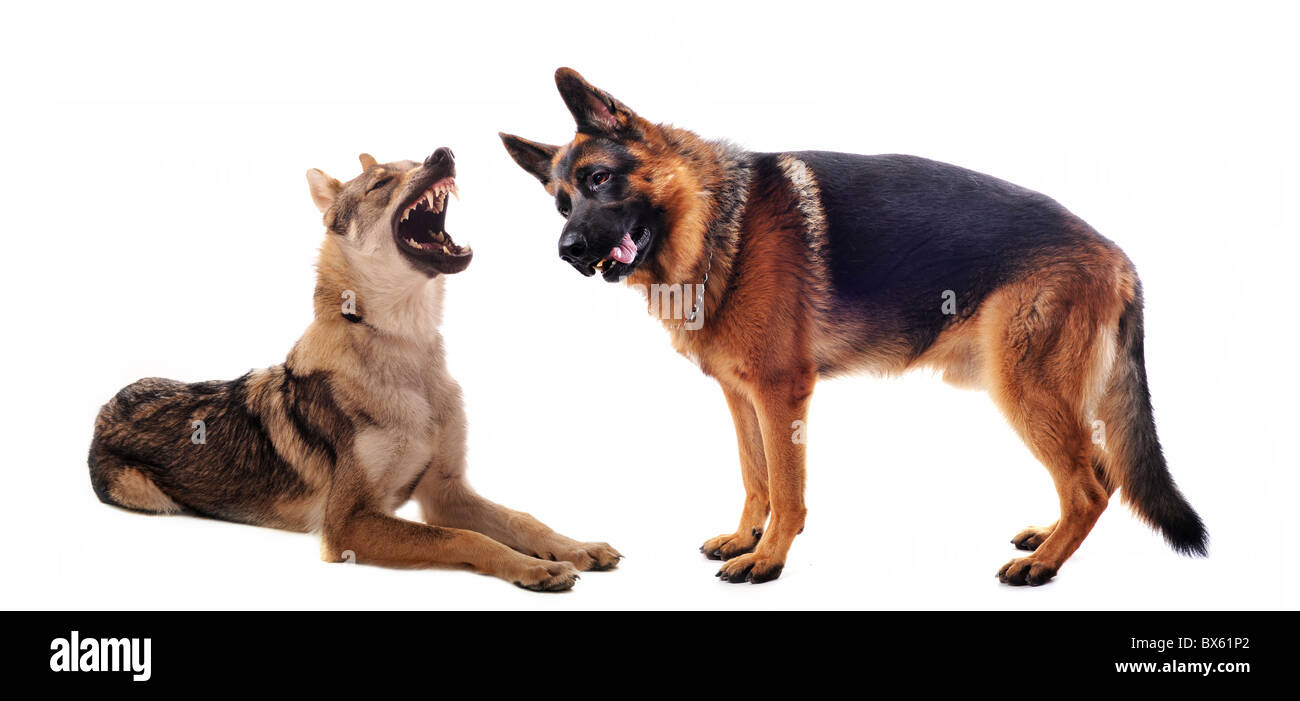 purebred Czechoslovakian Wolfdog angry and german shepherd - Stock Image