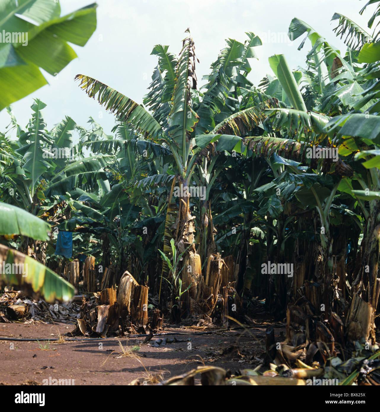 Panama disease (Fusarium oxysporum) devastation in mature South African banana plantation - Stock Image