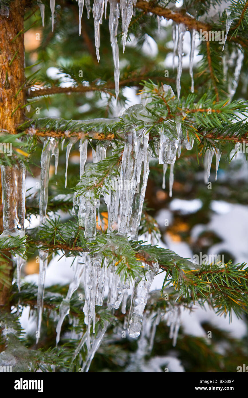 Fir tree covered in icicles - Stock Image