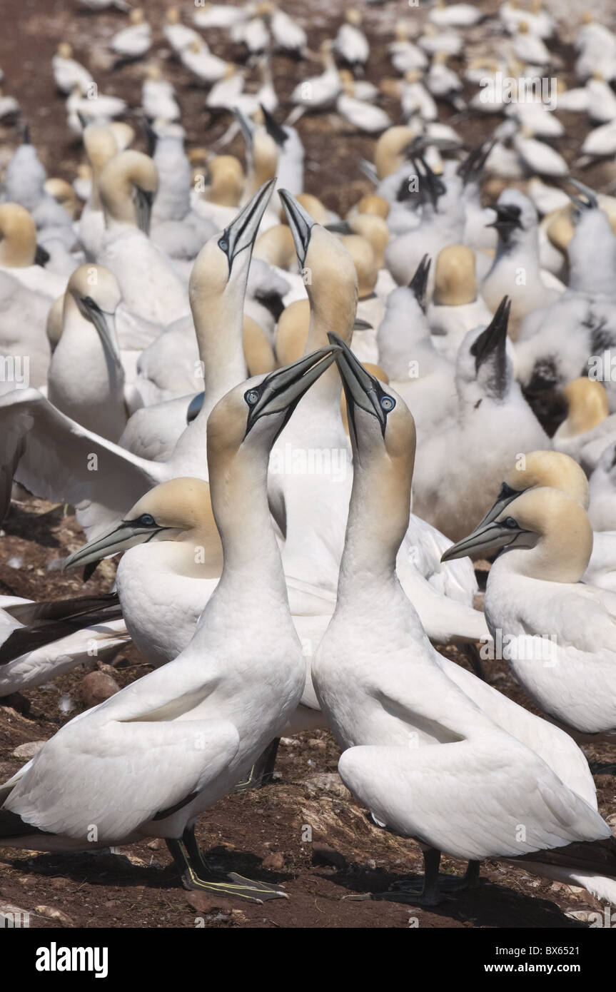 Northern gannet colony, Ile Bonaventure offshore of Perce, Quebec, Canada, North America - Stock Image