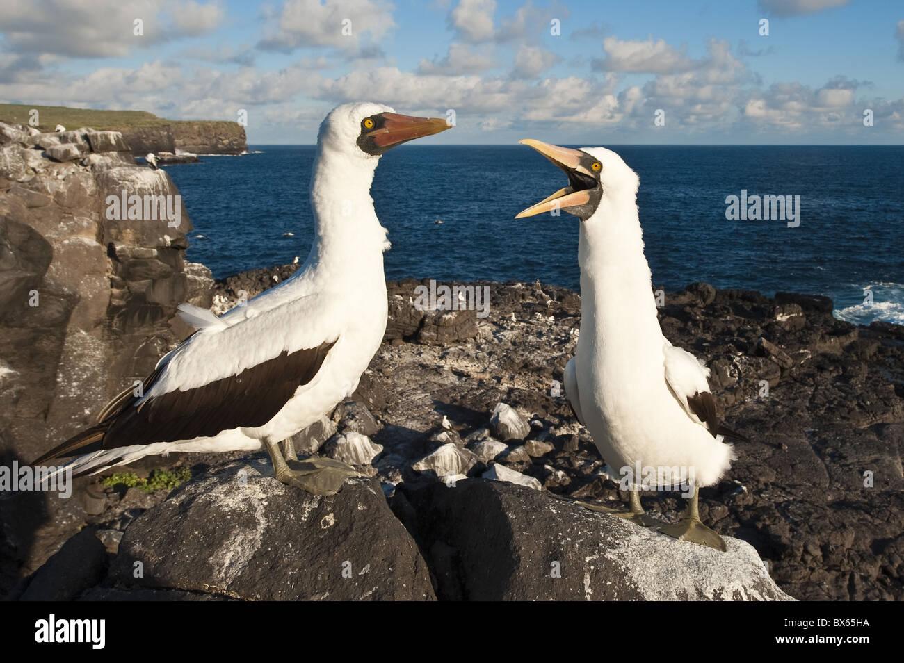 Nazca Booby (Sula dactylatra), Suarez Point, Isla Espanola (Hood Island), Galapagos Islands, UNESCO World Heritage - Stock Image