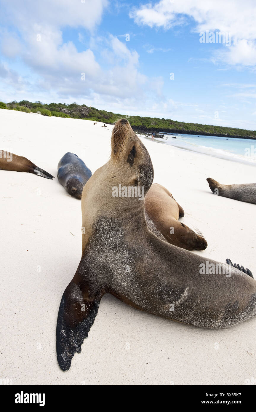Galapagos sea lion, Gardner Bay, Isla Espanola (Hood Island), Galapagos Islands, UNESCO World Heritage Site,  Ecuador - Stock Image