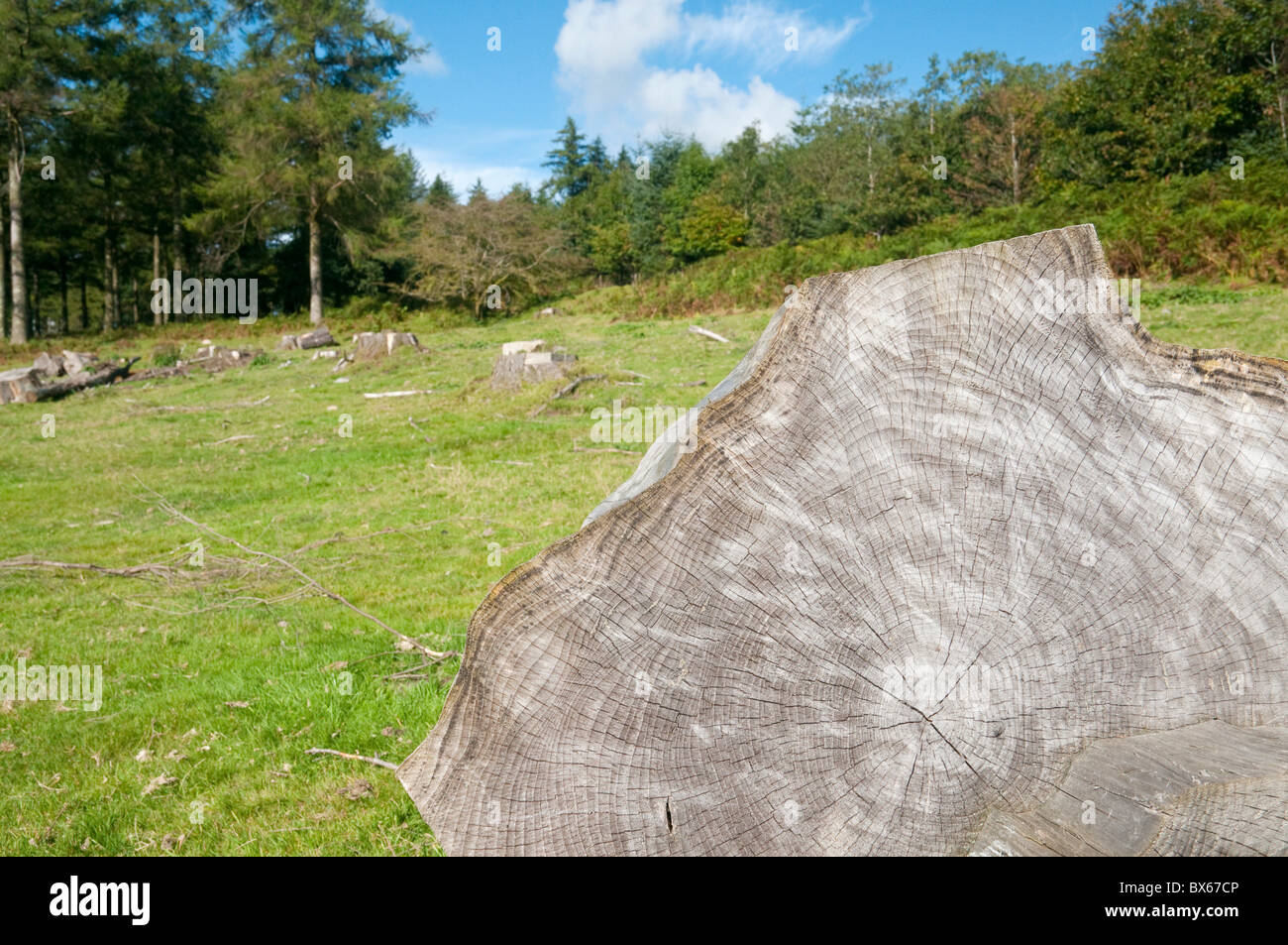 Sawn tree stumps left after forest clearance, Dartmoor, Devon UK - Stock Image