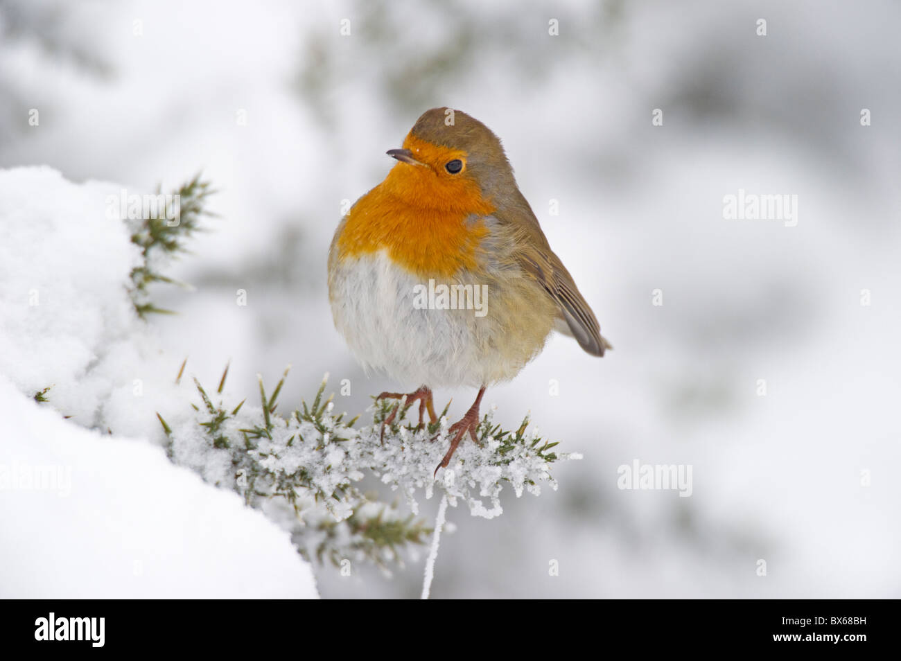 Robin(Erithacus rubecula) perched in the snow. - Stock Image