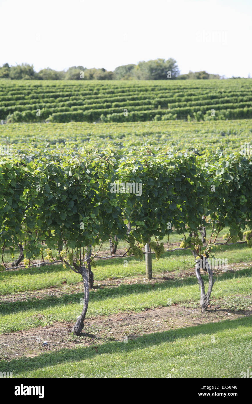Vineyard of Winery, The Hamptons, Long Island, New York,  United States of America, North America - Stock Image