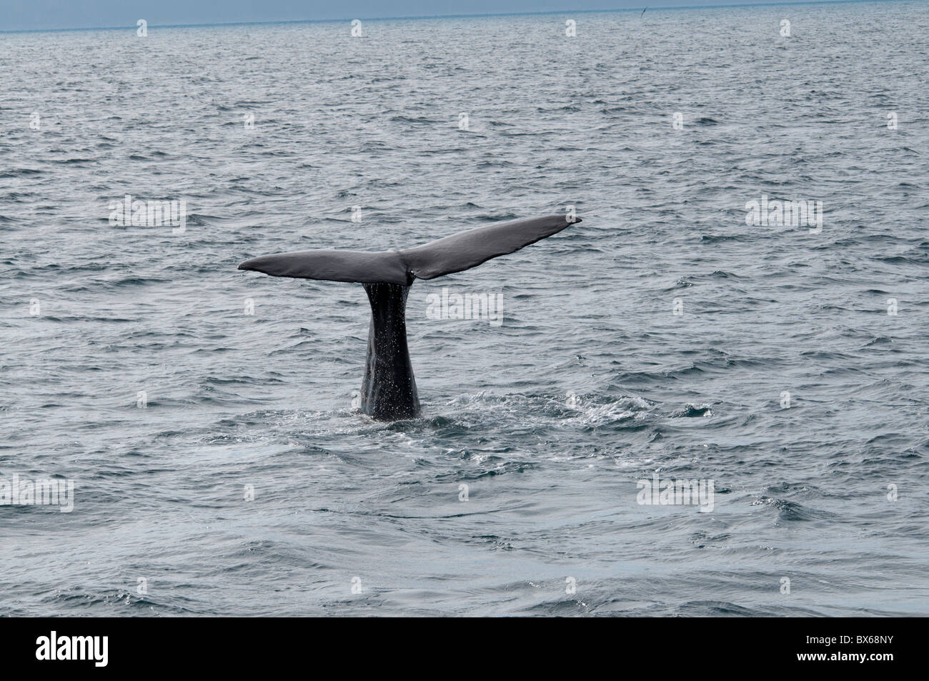 Abtauchender Pottwal, Sperm Whale diving - Stock Image