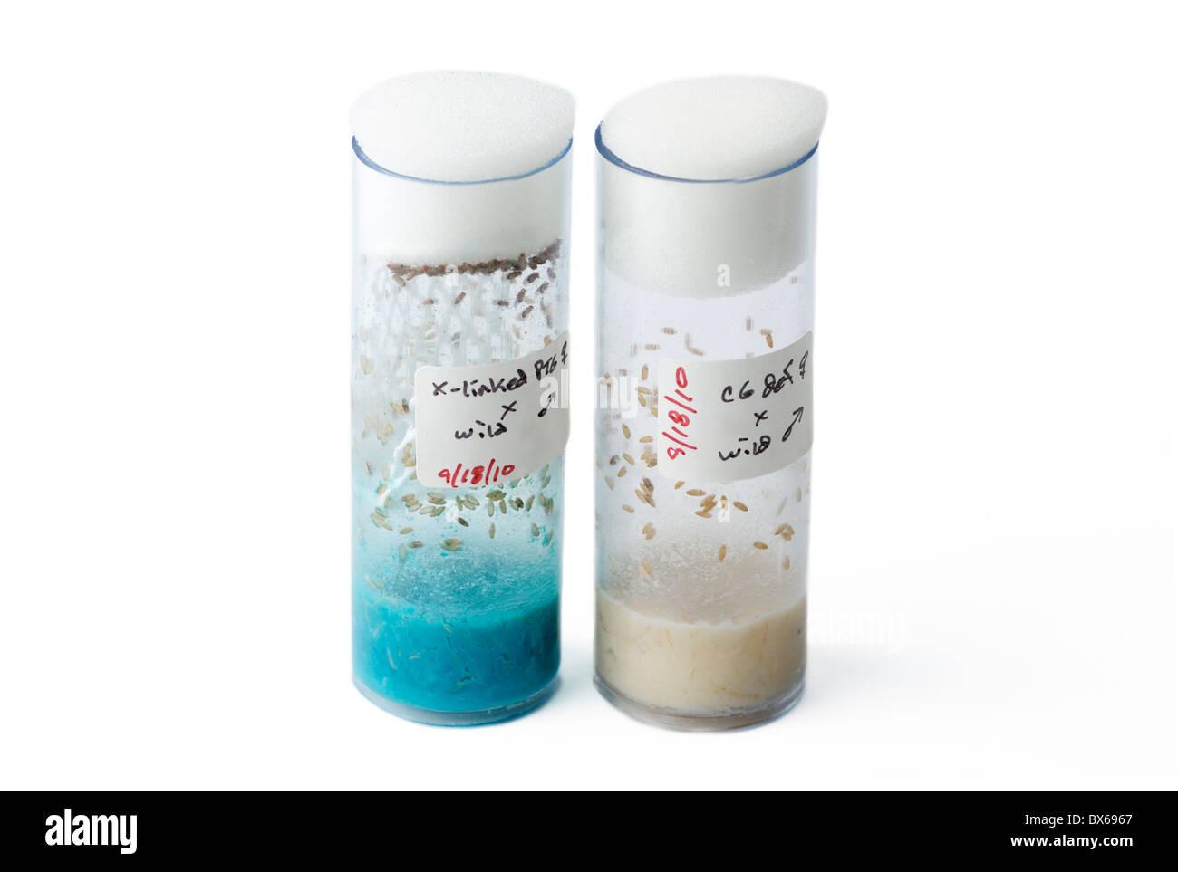 Two crossing vials of experimental fruit flies, Drosophila melanogaster - Stock Image