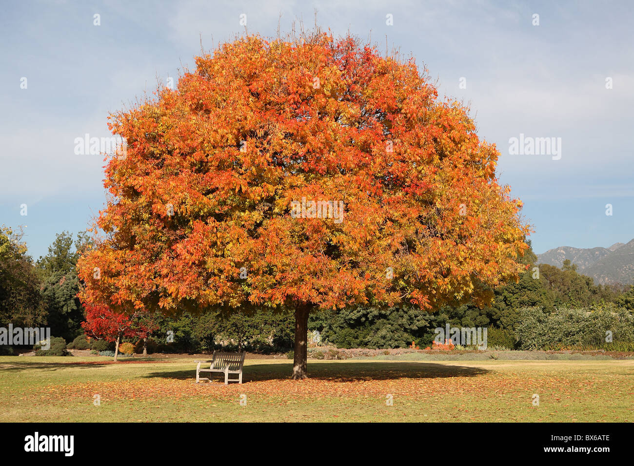 Orange and yellow fall or autumn foliage on perfect shaped tree with bench underneath - Stock Image