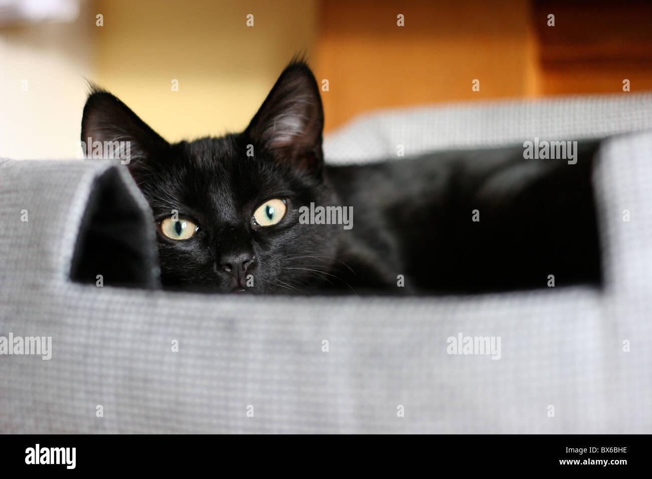 Black cat in bed - Stock Image