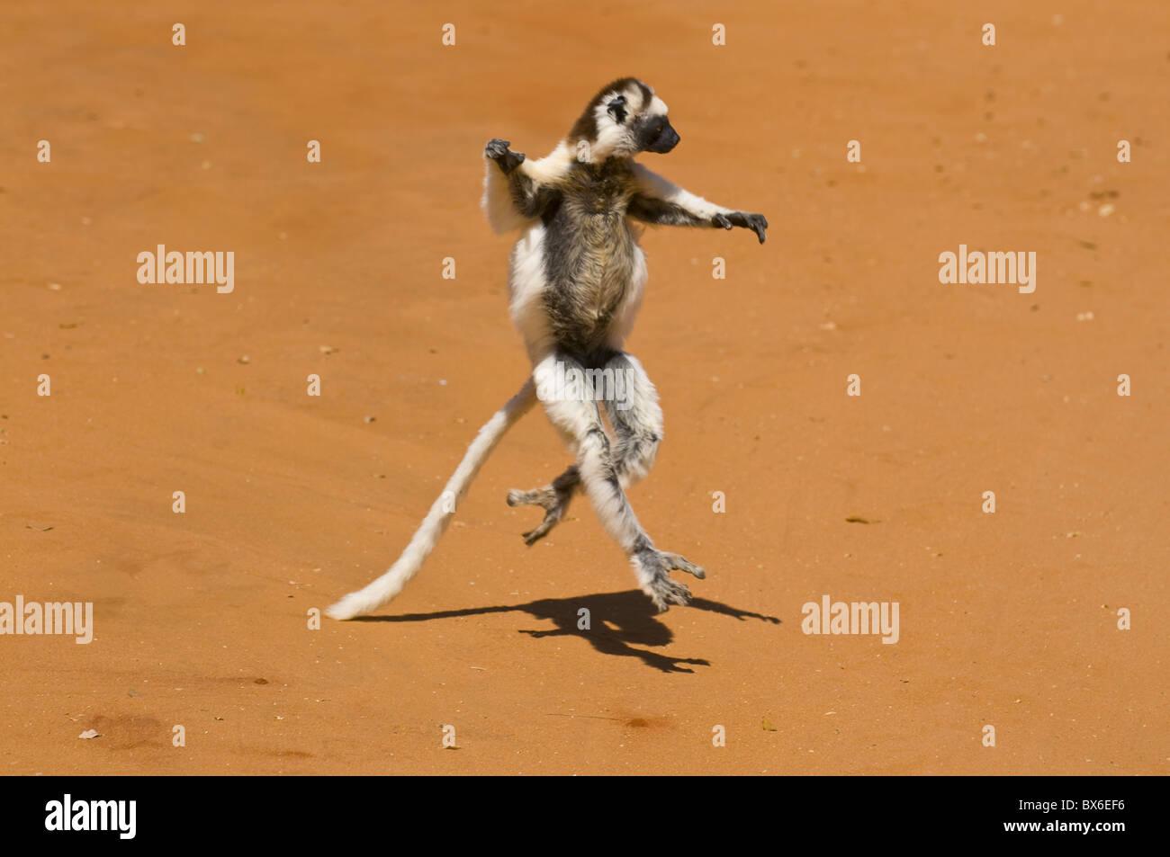 Leaping verreauxi lemur (Verreaux's Sifaka), Berenty Private Reserve, Madagascar, Africa - Stock Image