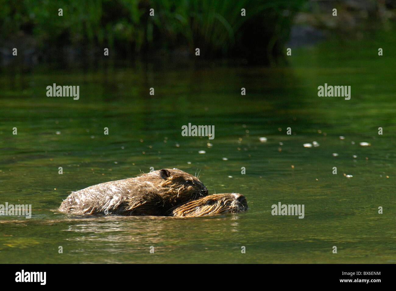 Beaver (Castor canadensis), adult with young beaver riding on adult's back Stock Photo