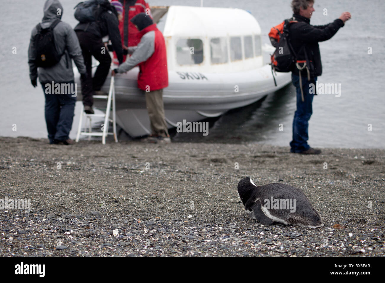 A penguin watches tourists as they leave Martillo Island near Ushuaia, Argentina - Stock Image