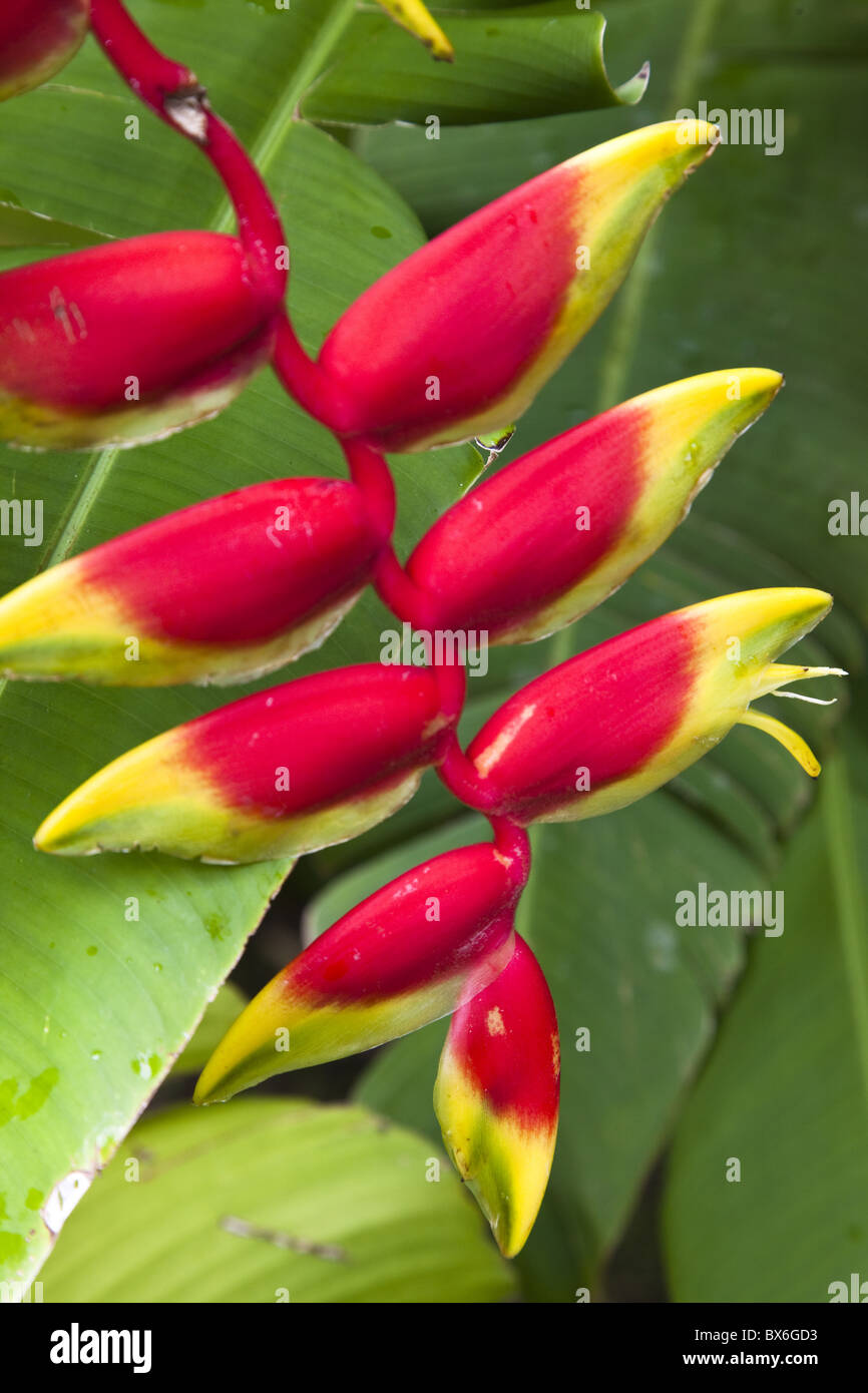 Heliconia pendula, a flowing plant native to tropical areas, St. Lucia, West Indies, Caribbean, Central America - Stock Image