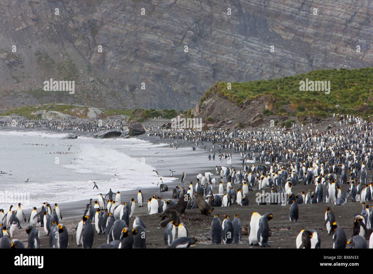 Colony of king penguins (Aptenodytes patagonicus), Gold Harbour, South Georgia, Antarctic, Polar Regions - Stock Image