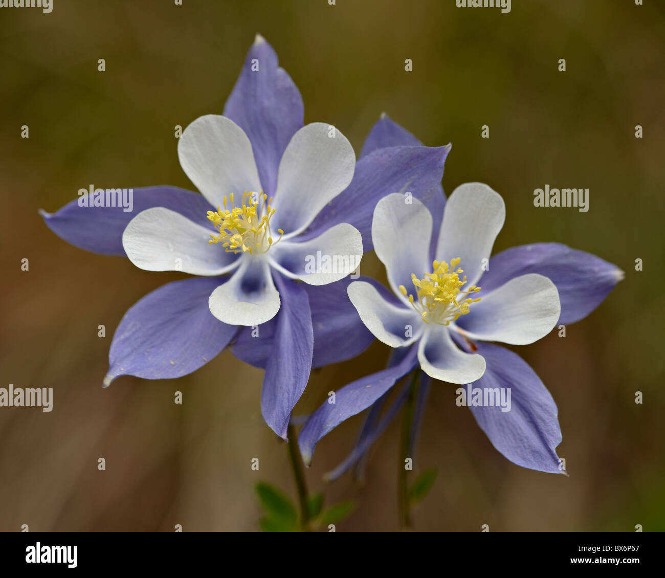 Colorado blue columbine flowers stock photos colorado blue blue columbine aquilegia coerulea weston pass pike and san isabel national forest izmirmasajfo