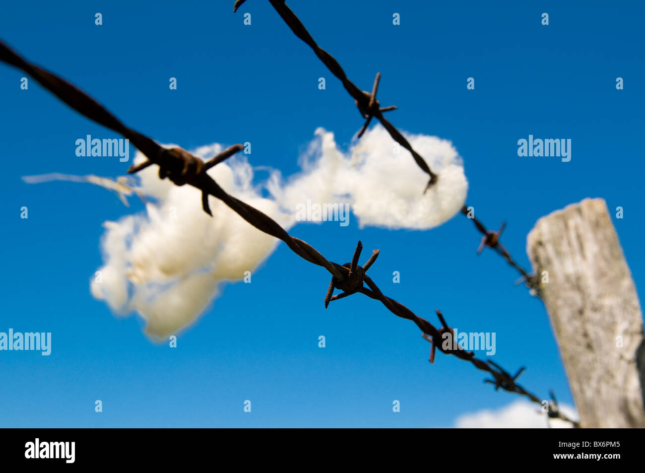 Wool on Barbed Wire Fence Blowing in the Wind Against a deep Blue Sky - Stock Image