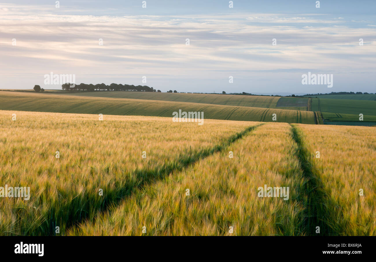 Agricultural crop fields near Cheesefoot Head in the South Downs National Park, Hampshire, England. Summer (July) - Stock Image