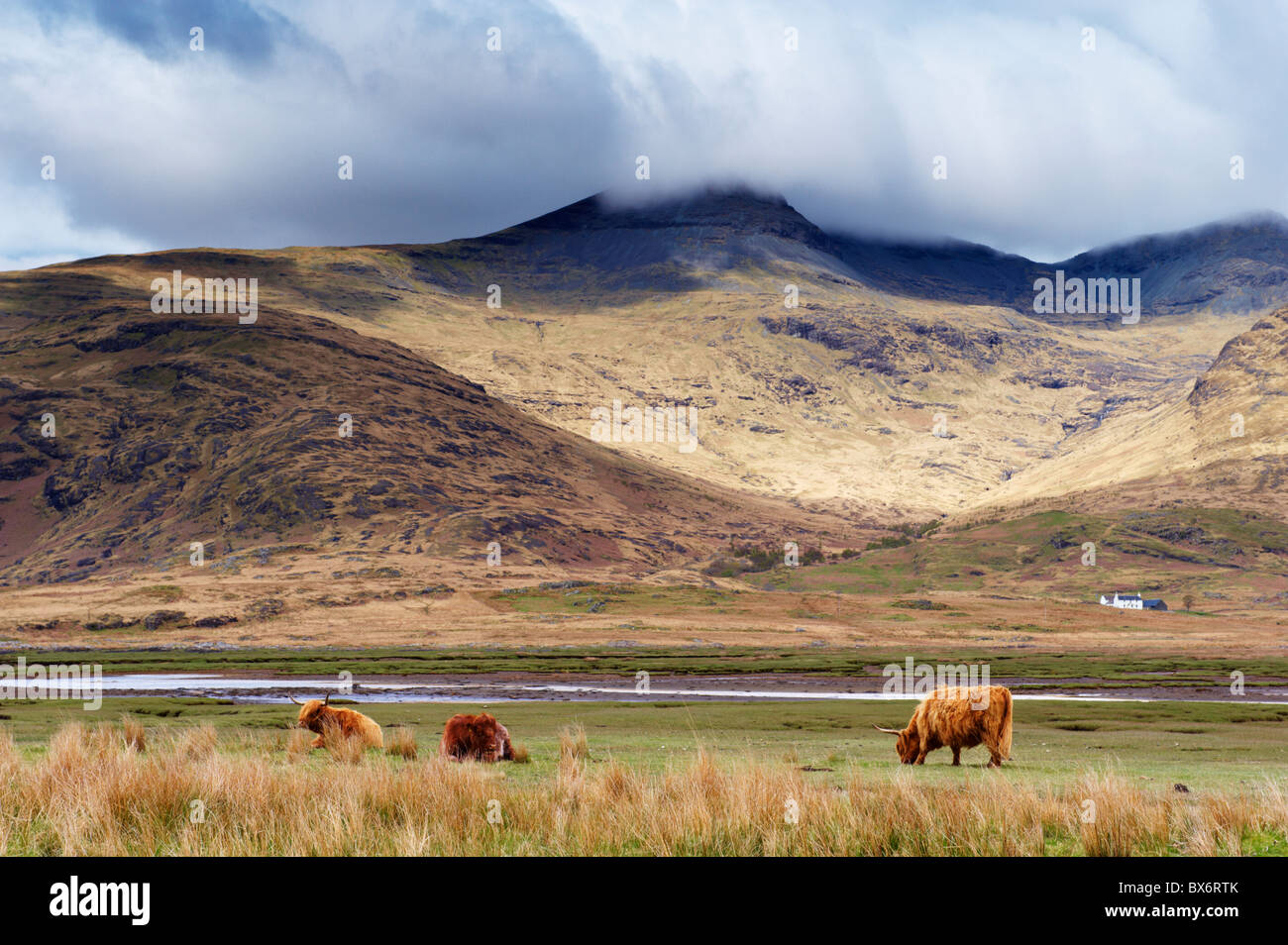 Highland cattle, Ben More in the distance, Isle of Mull, Scotland, United Kingdom, Europe - Stock Image