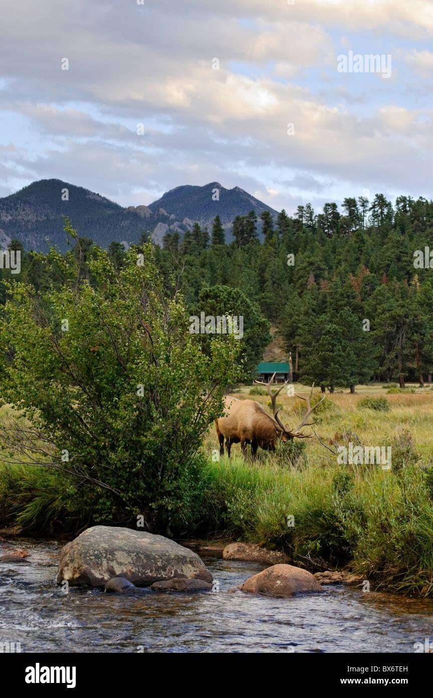 Wapiti Deer, Rocky Mountain National Park, Estes Park, Colorado, USA - Stock Image