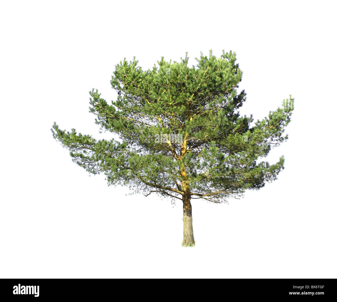 Isolated conifer - Stock Image
