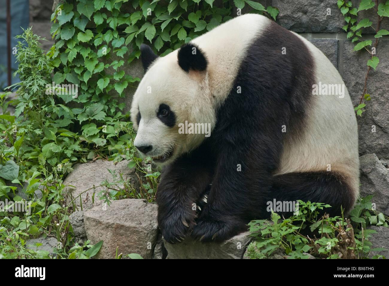 Giant panda sitting on a rock at Beijing Zoo, Beijing, China. - Stock Image