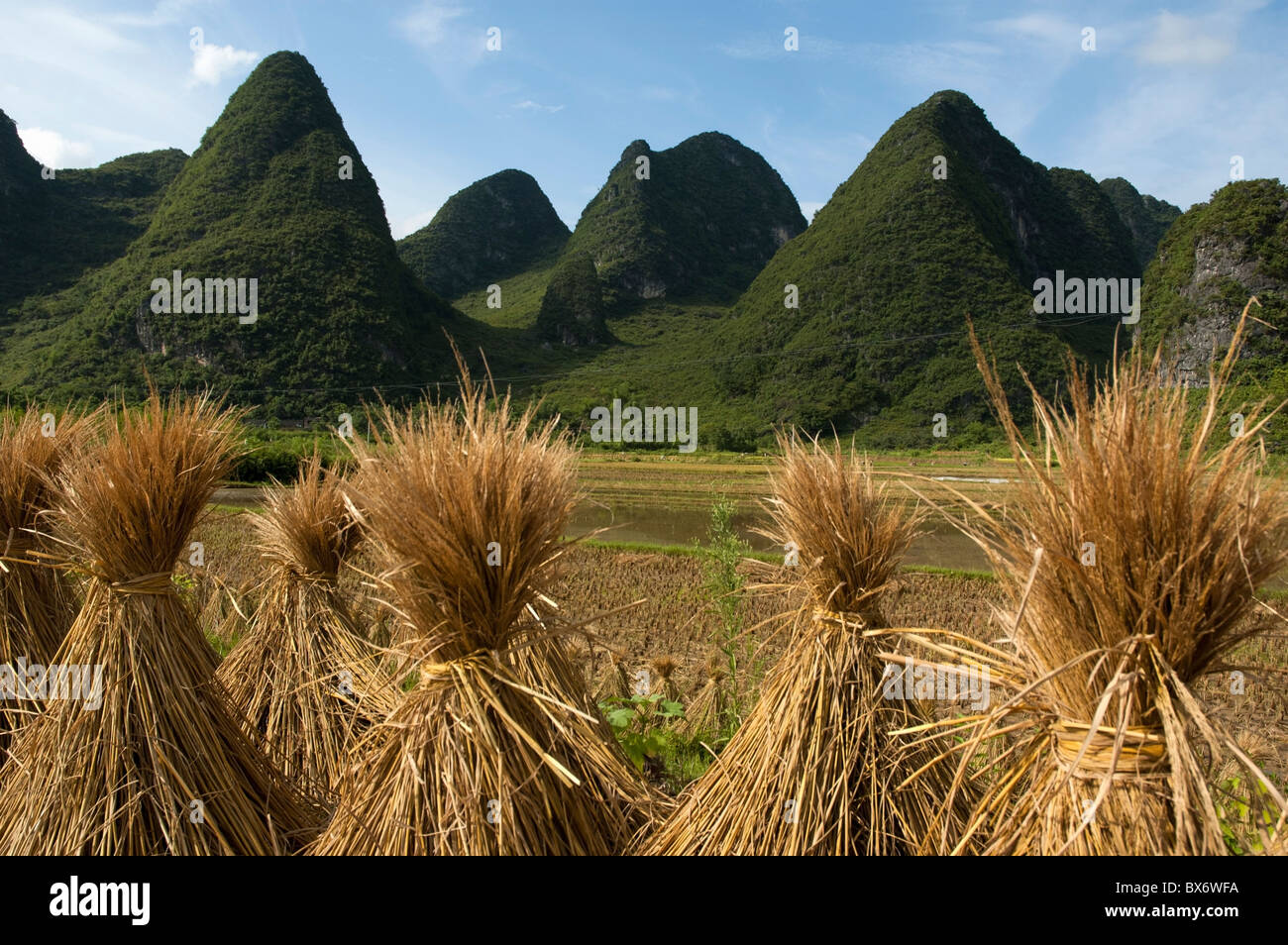 Bundles of rice drying in a paddy field with Karst peaks behind in Yangshuo County, Guangxi Province, China. - Stock Image