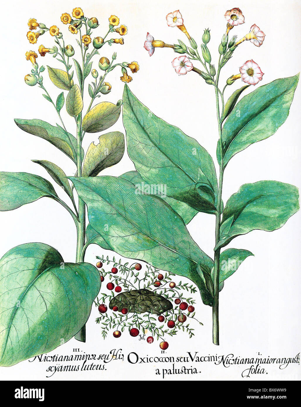 Nicotiana Tabacum Images: Botany, Tobacco, Cranberry (Vaccinium Ocycoccos) Between