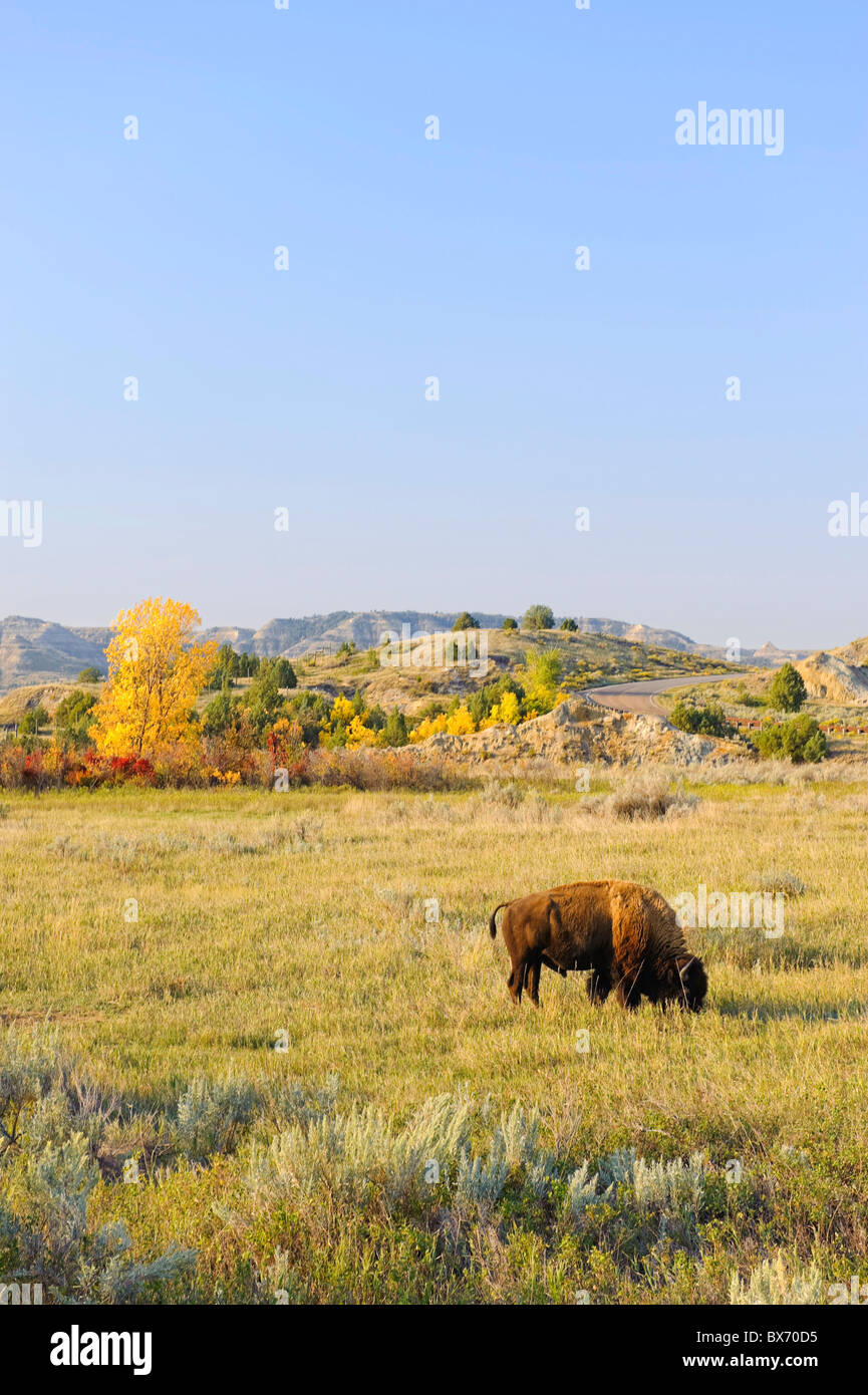 Buffalo (Bison Bison), Theodore Roosevelt National Park (North Unit), North Dakota, USA - Stock Image
