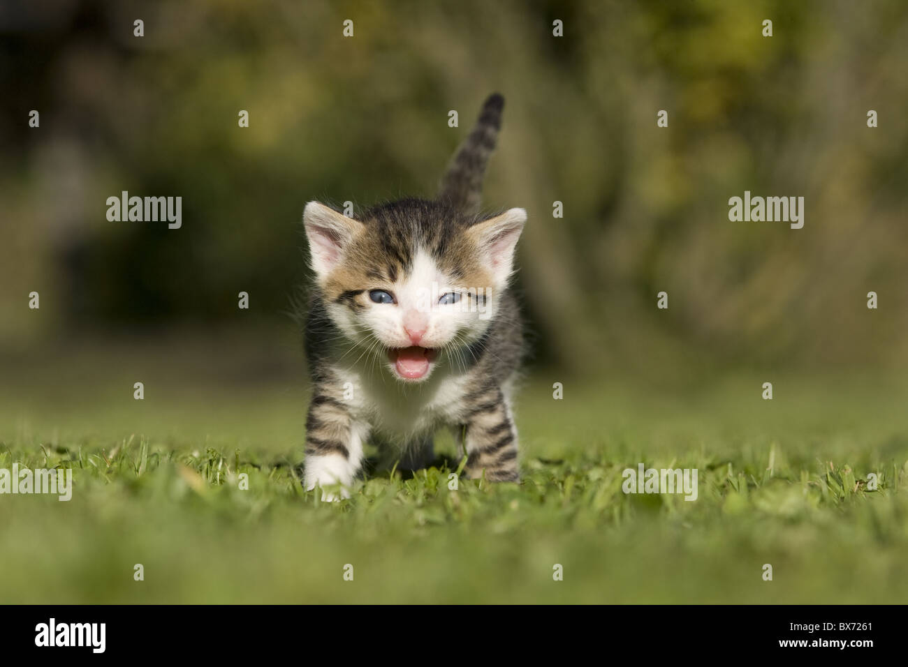 Katze, Kaetzchen miauend, lachend auf Wiese, Cat, kitten laughing, miaowing on a meadow Stock Photo
