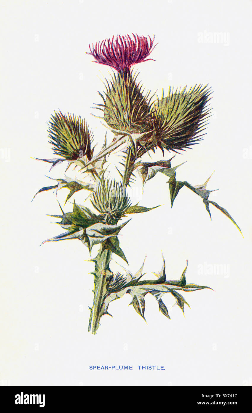 Spear Plume Thistle, Carduus lanceolatus from Familiar Wild Flowers by F. Edward Hulme; Colour Lithograph - Stock Image