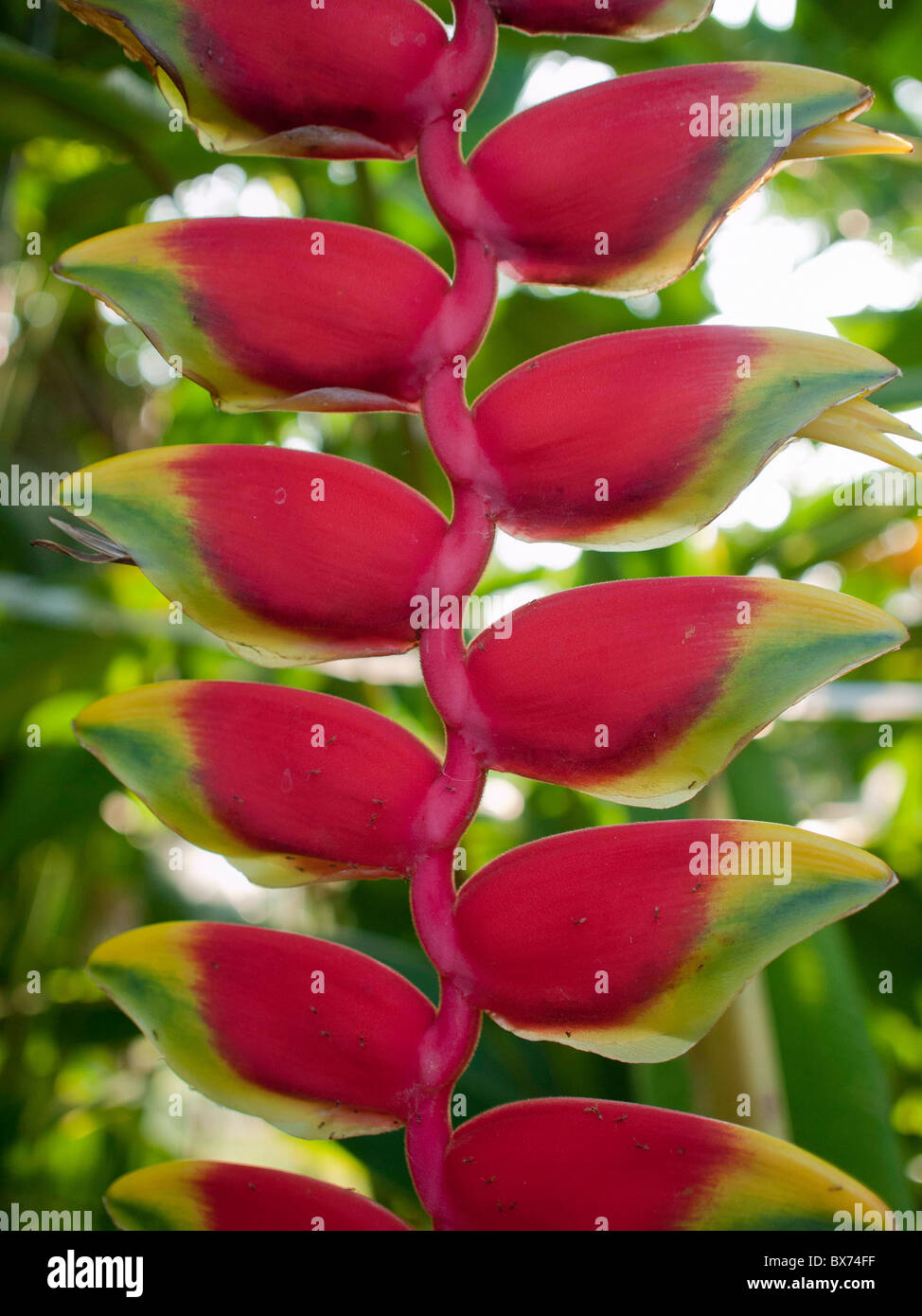 Closeup exotic heliconia rostrata ruiz et pavon hanging lobster claws bird of paradise - Stock Image
