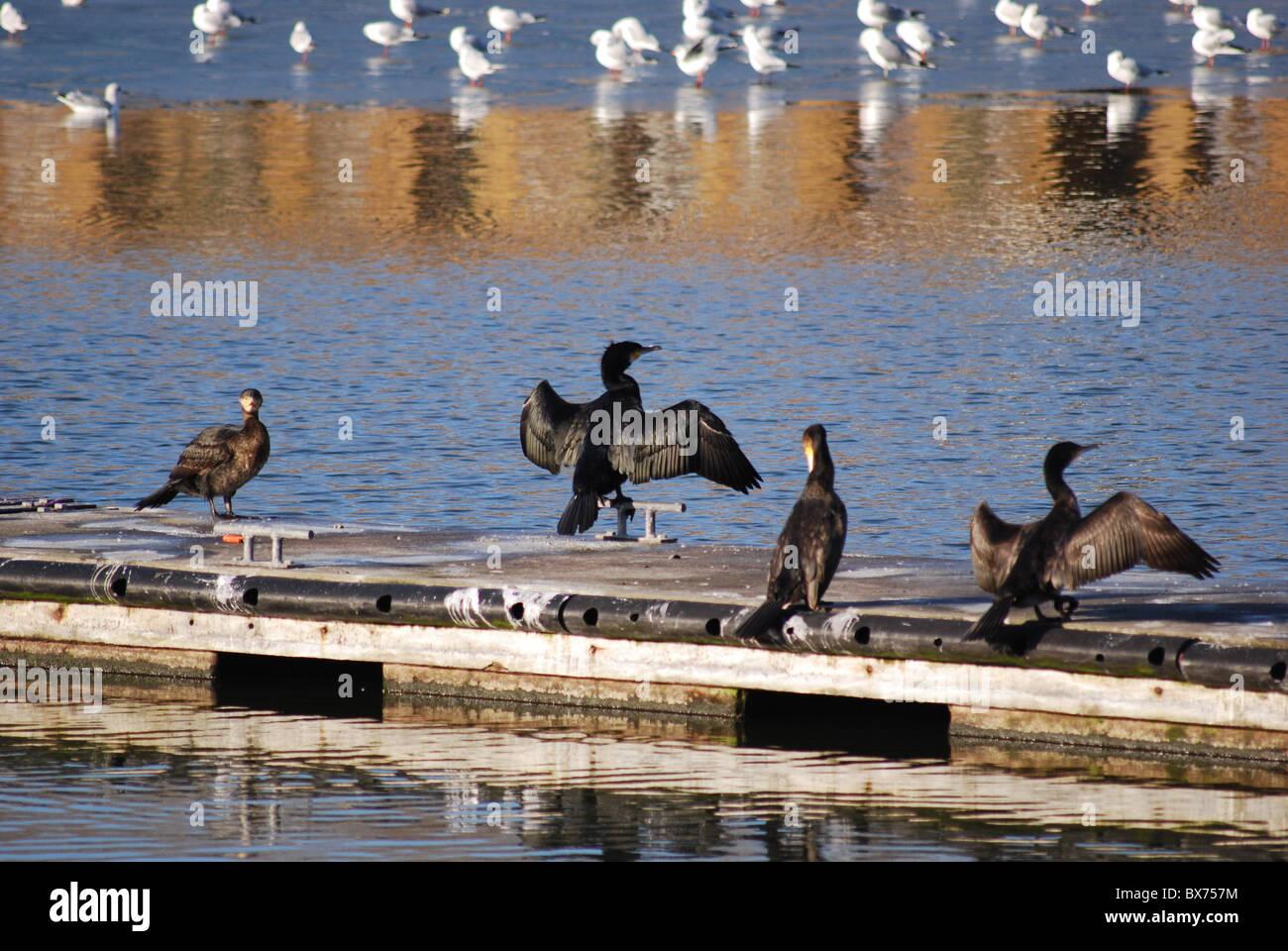 Cormorants - Stock Image