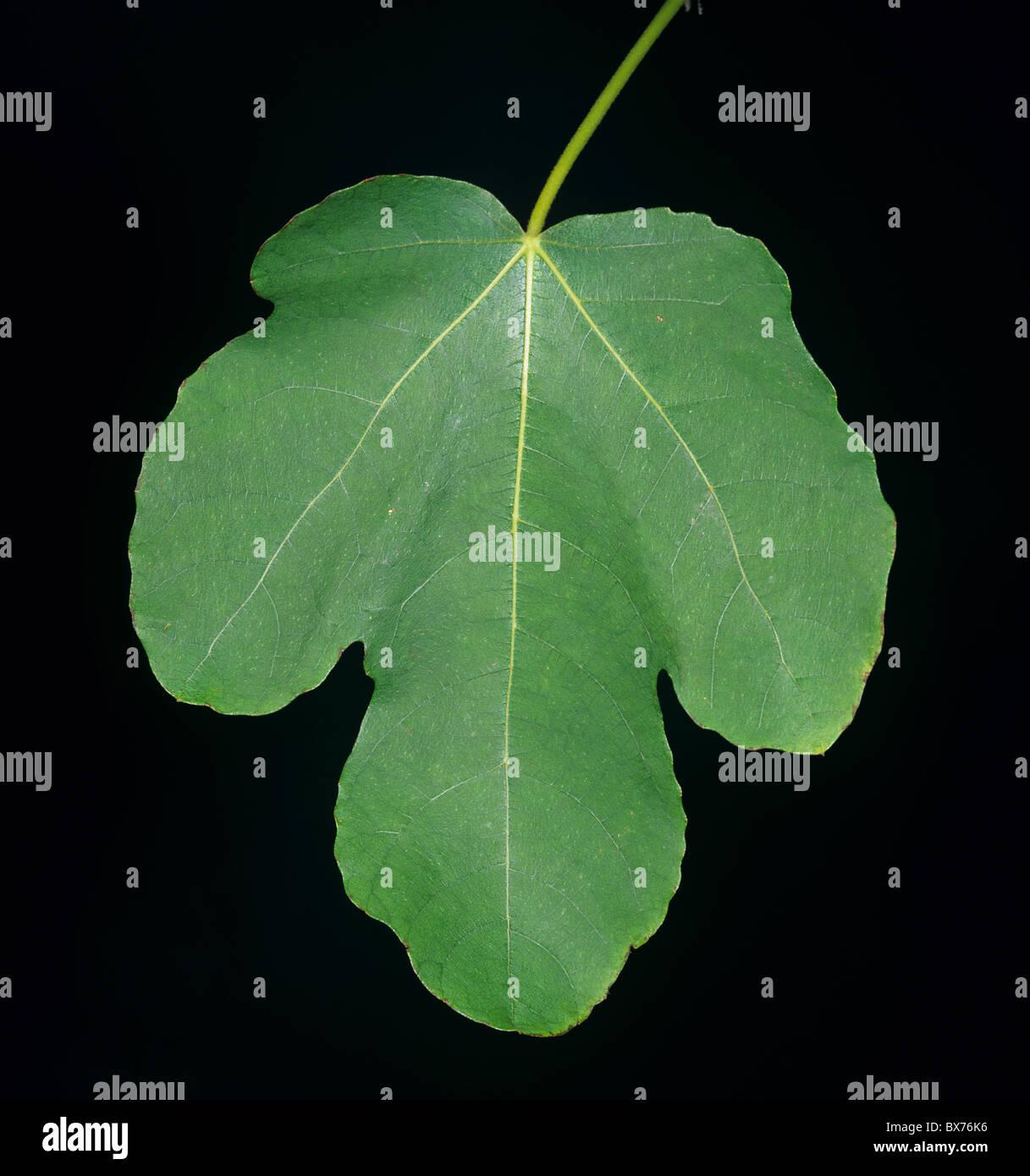 Symbolic shape of a fig leaf on the tree - Stock Image