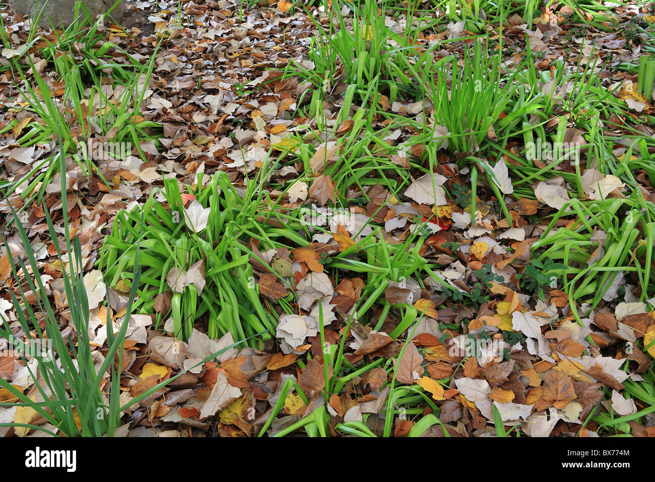Detailed shot of Fall or Autumn undergrowth with multi-colored leaves surrounding bright green growth Stock Photo
