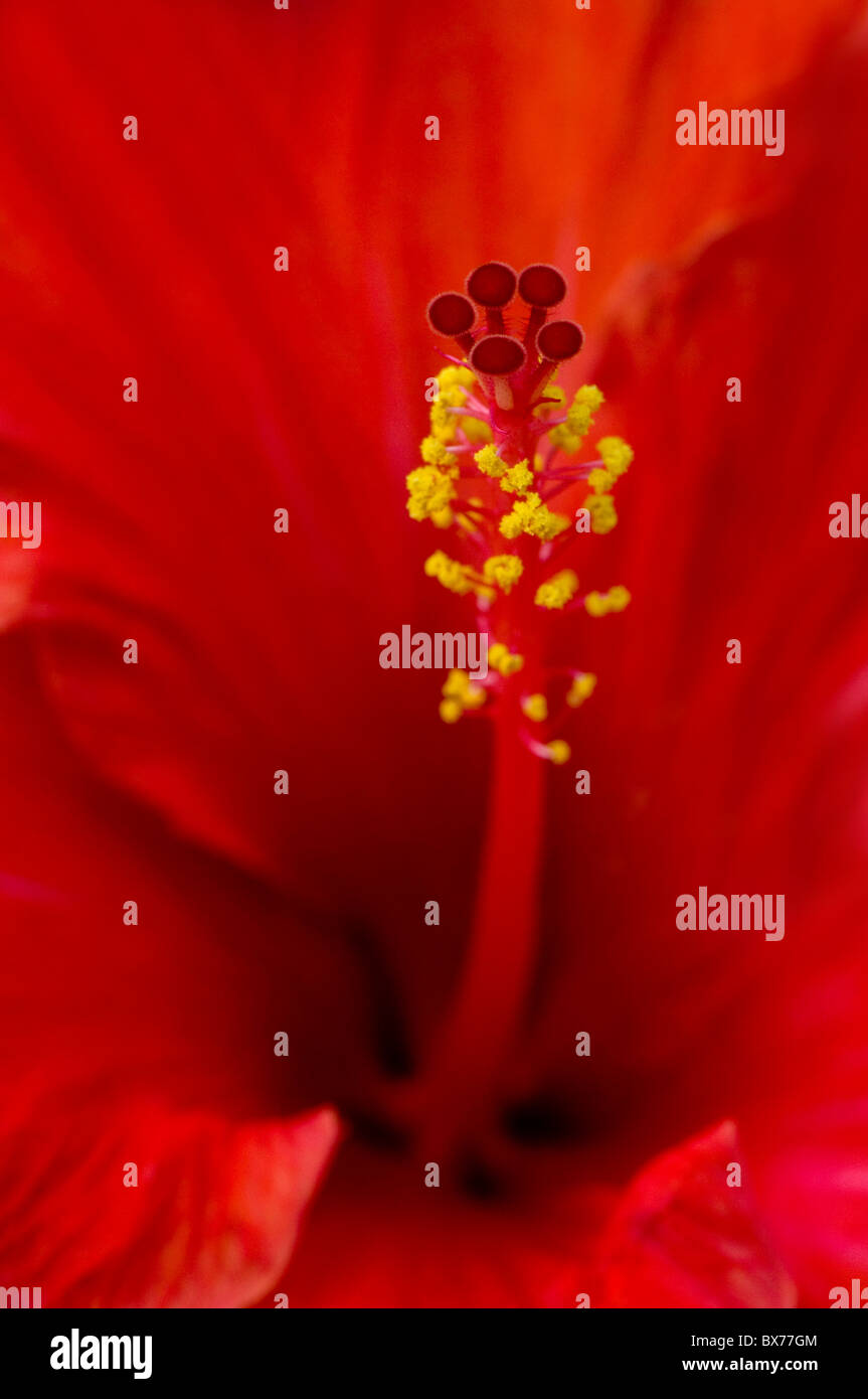Macro image of a Red Hibiscus Flower - Stock Image