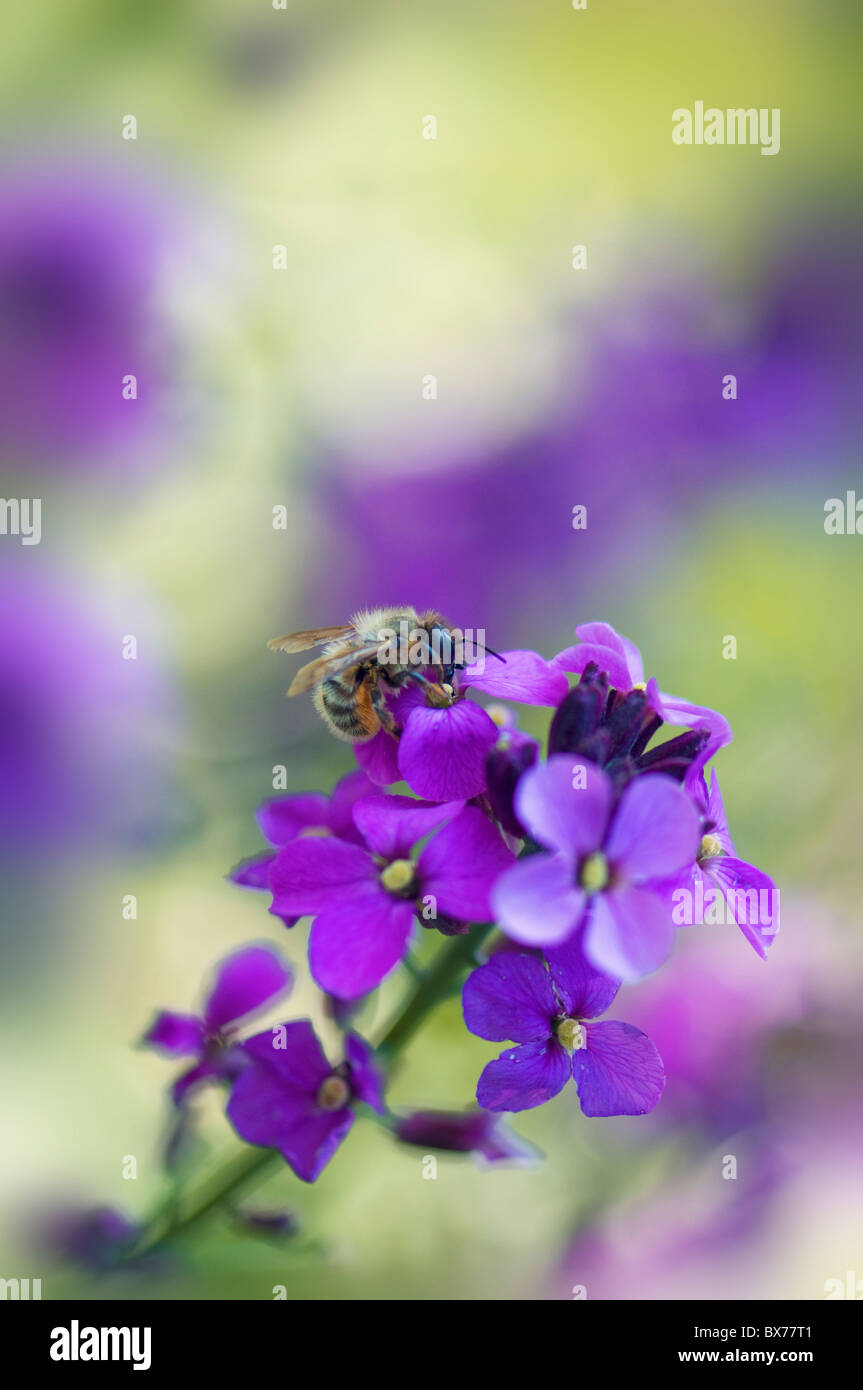 Erysimum Bowles Mauve - Perennial Wallflower with a honey Bee - Stock Image